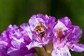 eine Hummel krabbelt auf Nahrungssuche in einer lila Bl�te poster