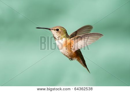 Rufous Hummingbird in Flight, Female