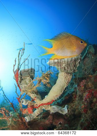 Damselfish and sponge on underwater coral reef