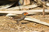 Orange-Cheeked Waxbill (Estrilda melpoda) looking for seeds in the sand poster