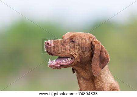 Happy Vizsla Dog In A Green Field