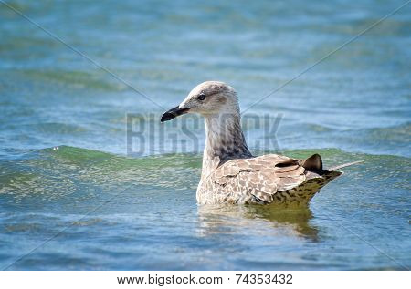 Seagull Is Swimming In The Sea