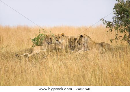 Group of female lions laying on small hillside in Africa. poster