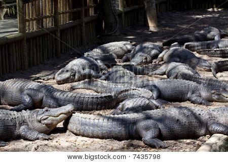 Alligators in pit at reptile farm in Florida