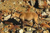 Alpine ibex Capra ibex in the rocks poster