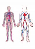 Diagram of the human vein and anatomy in vector poster