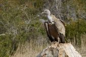 Griffon vulture standing on a rock, sideview. poster