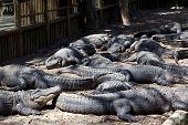 Twelve alligators (American alligators) lying in an alligator pit at a Florida reptile farm. poster