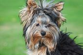 portrait yorkshire terrier close in sunny summer day at grass poster