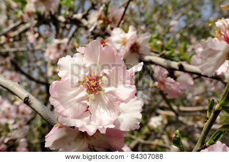 Almond Trees Blossom.