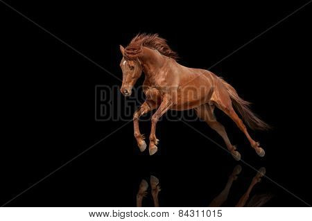 Thoroughbred stallion isolated on black background. Beautiful red horse