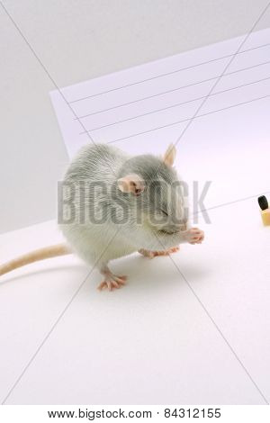 The gray rat