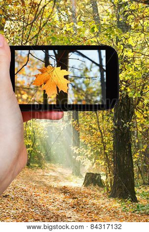 Tourist Taking Photo Of Maple Leaf In Autumn Woods