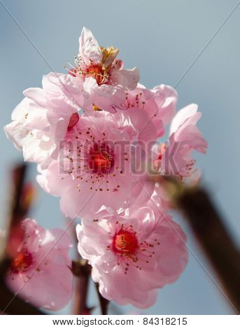 Pyramid Of Cherry Flowers