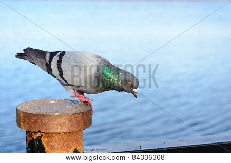 Funny Gray Pigeon