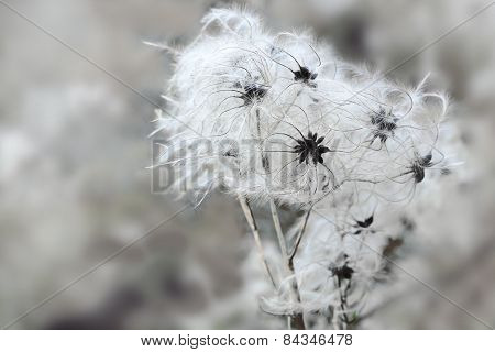 Seed Heads Of Clematis  In Winter, Copy Space