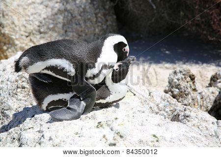 Mating Penguins