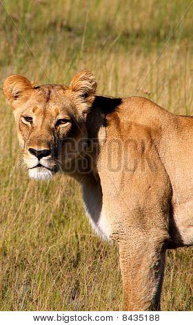 Close Up Of Lioness