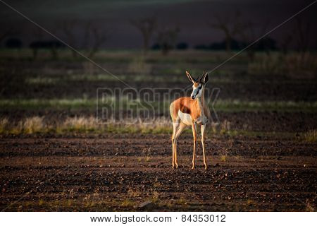 Springbok in the afternoon light of Namibia