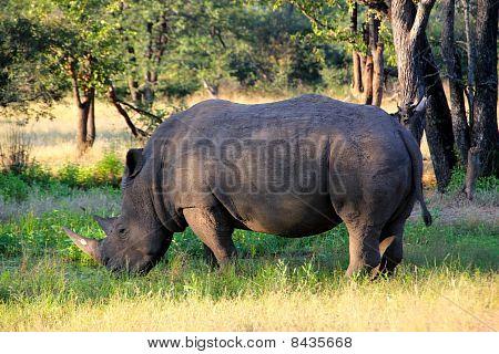 Rhinocercos In Zambia
