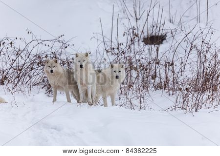 Several Arctic Wolves in winter