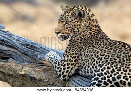 A leopard stars towards the camera in Botswana