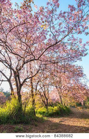 Beautiful pink cherry blossom or sakura flower branch on tree.