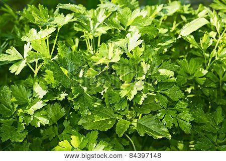 Green Leaf Parsley