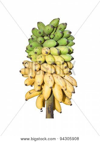 Fresh bananas ripening from green to yellow