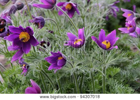Close up of purple Pasque Flower (Pulsatilla vulgaris)