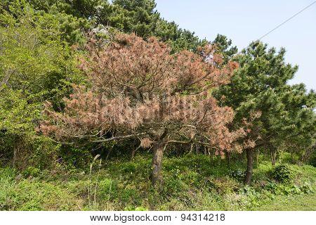 Pine Tree Die From A Disease