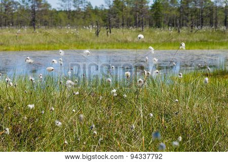 Flowers Of Cottongrass, Marshland On Background