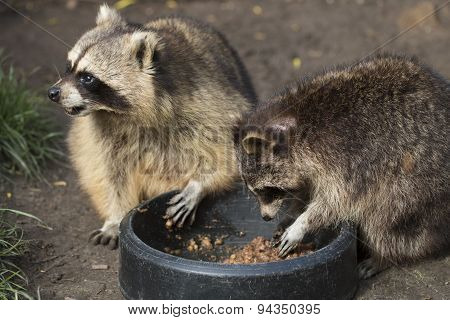 Two Raccoons Eating
