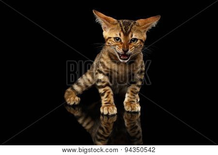 Bengal Kitty Stands and Hissing on Black