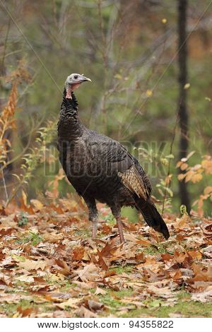 Wild Turkey In Autumn