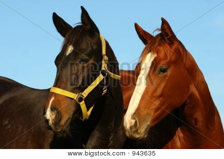Two Thoroughbreds