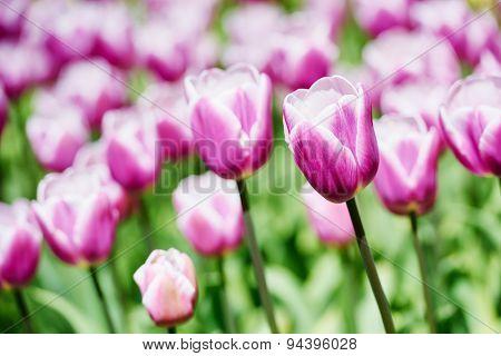 Tulip blossom. Close-up purple flowers field outdoors. Shallow DOF