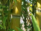detail of a bamboo shaft with fresh green leafs poster