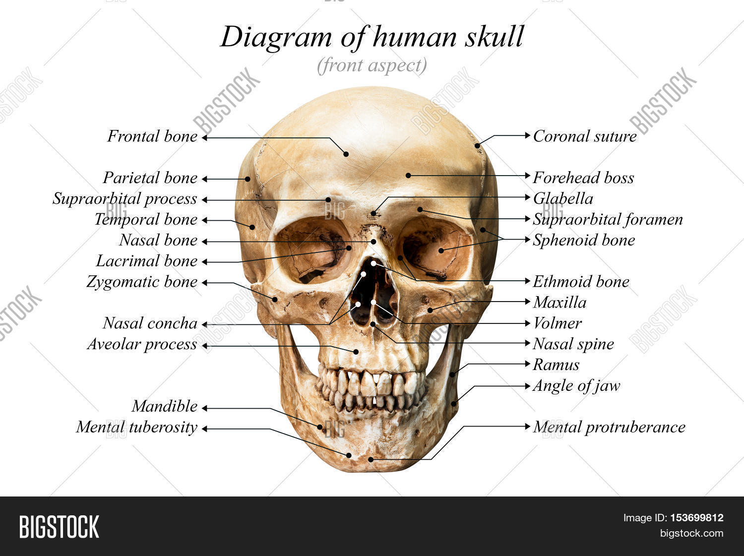 Front Aspect Human Image Photo Free Trial Bigstock