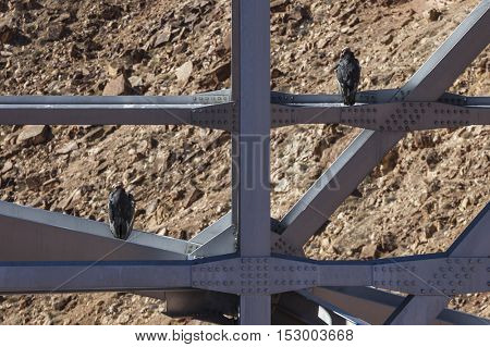 Rare California Condors resting below Marble Canyon Bridge in Arizona.  California condors have the largest wingspan of any North American bird.