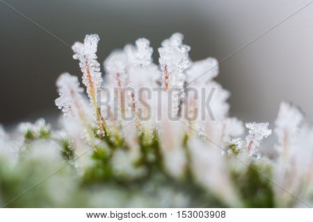 Forest Moss With Hoarfrost In Winter