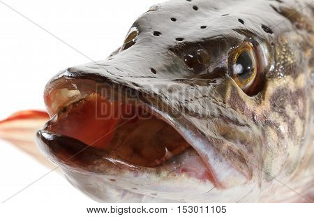 Pike fish head isolated on a white background