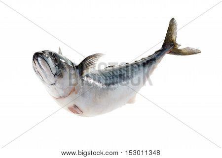 Fresh atlantic mackerel isolated on white background