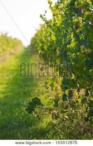 Green Wineyard Background