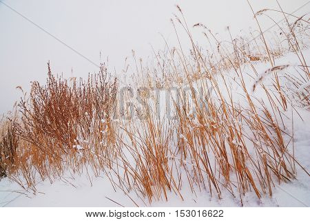 Ornamental grasses in winter in the snow