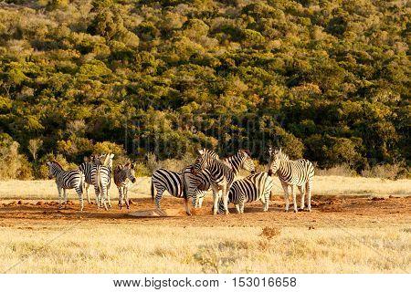 Burchells Zebra At The Watering Hole.