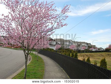 Spring Blossoms On Street