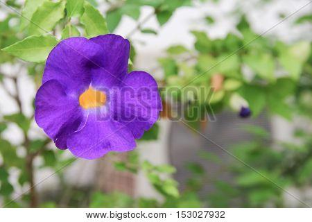 Close up flower purple Thunbergia erecta (Benth.) Anderson ACANTHACEAE Bush Clock Vine