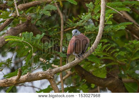 Red Collared Dove With Green Background In Nature