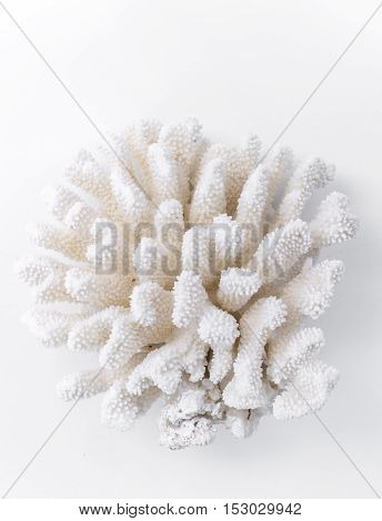 white dry coral on white background isolated